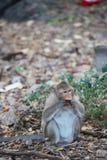 Πίθηκος που τρώει τα τρόφιμα στο έδαφος, πίθηκος Ταϊλάνδη Στοκ Εικόνα