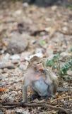Πίθηκος που τρώει τα τρόφιμα στο έδαφος, πίθηκος Ταϊλάνδη Στοκ Φωτογραφίες