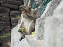 Πίθηκος που τρώει τα τρόφιμα Στοκ Φωτογραφία