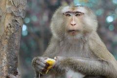 Πίθηκος που τρώει την μπανάνα του ναού Angkor Wat Στοκ Εικόνες