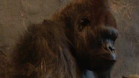 Πίθηκος που τρώει το άχυρο απόθεμα βίντεο