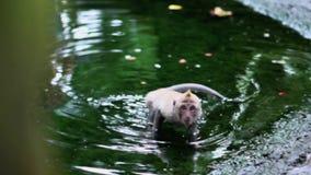 Πίθηκος που χαλαρώνουν στο νερό απόθεμα βίντεο