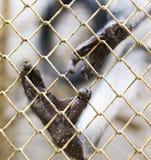 Πίθηκος ποδιών σε ένα κλουβί στο ζωολογικό κήπο Στοκ Φωτογραφία