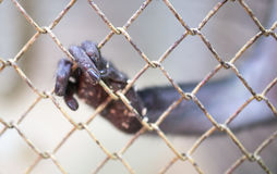 Πίθηκος ποδιών σε ένα κλουβί στο ζωολογικό κήπο Στοκ εικόνες με δικαίωμα ελεύθερης χρήσης