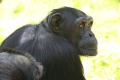 πίθηκος προσώπου Στοκ Φωτογραφία