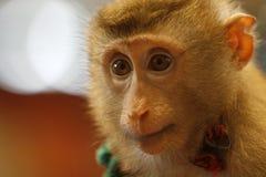 πίθηκος προσώπου Στοκ Εικόνες