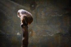 Πίθηκος δράματος Στοκ φωτογραφία με δικαίωμα ελεύθερης χρήσης