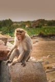 Πίθηκος σε έναν βράχο Στοκ Εικόνες