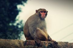 Πίθηκος σε έναν τοίχο Στοκ Εικόνες