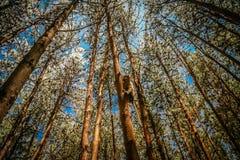 Πίθηκος σε ένα δάσος πεύκων Στοκ φωτογραφία με δικαίωμα ελεύθερης χρήσης