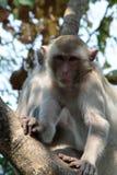 Πίθηκος σε ένα δέντρο Στοκ εικόνες με δικαίωμα ελεύθερης χρήσης