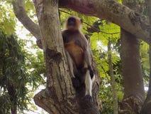 Πίθηκος σε ένα δέντρο Στοκ φωτογραφίες με δικαίωμα ελεύθερης χρήσης