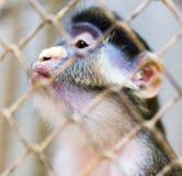 Πίθηκος σε ένα κλουβί σε έναν ζωολογικό κήπο Στοκ εικόνα με δικαίωμα ελεύθερης χρήσης