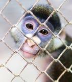 Πίθηκος σε ένα κλουβί σε έναν ζωολογικό κήπο Στοκ Φωτογραφία