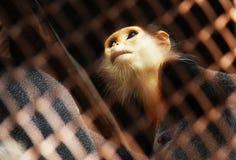 Πίθηκος σε ένα κλουβί Στοκ φωτογραφία με δικαίωμα ελεύθερης χρήσης