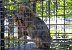 Πίθηκος σε ένα κλουβί Στοκ εικόνα με δικαίωμα ελεύθερης χρήσης