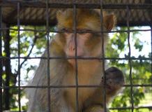 Πίθηκος σε ένα κλουβί Στοκ Φωτογραφίες