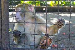 Πίθηκος σε ένα κλουβί Στοκ Φωτογραφία