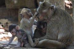 Πίθηκος σε Angkor Wat στην Καμπότζη - ζώο Στοκ Εικόνα