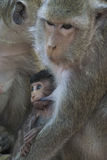 Πίθηκος σε Angkor Wat στην Καμπότζη - ζώο Στοκ φωτογραφία με δικαίωμα ελεύθερης χρήσης