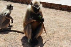 Πίθηκος σε Chittorgarh Στοκ φωτογραφίες με δικαίωμα ελεύθερης χρήσης