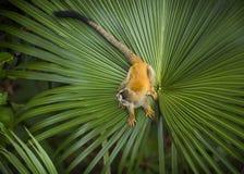 Πίθηκος σκιούρων στο φύλλο φοινικών στοκ φωτογραφία