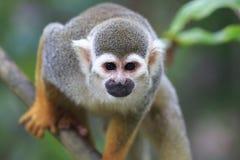Πίθηκος 5 σκιούρων Στοκ φωτογραφία με δικαίωμα ελεύθερης χρήσης