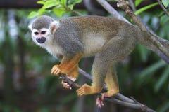 Πίθηκος 6 σκιούρων Στοκ Φωτογραφίες