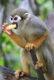 Πίθηκος 7 σκιούρων Στοκ εικόνα με δικαίωμα ελεύθερης χρήσης