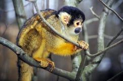 Πίθηκος σκιούρων Στοκ Φωτογραφίες
