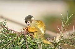 Πίθηκος σκιούρων Στοκ εικόνες με δικαίωμα ελεύθερης χρήσης
