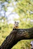 Πίθηκος σκιούρων Στοκ φωτογραφία με δικαίωμα ελεύθερης χρήσης