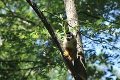Πίθηκος σκιούρων Στοκ Φωτογραφία