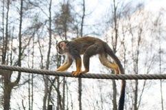 Πίθηκος σκιούρων, sciureus Saimiri, στο σχοινί που κοιτάζει στην πλευρά στοκ φωτογραφίες με δικαίωμα ελεύθερης χρήσης