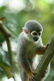 Πίθηκος σκιούρων Titi Στοκ φωτογραφία με δικαίωμα ελεύθερης χρήσης