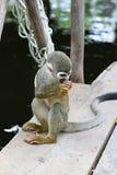 Πίθηκος σκιούρων Titi Στοκ φωτογραφίες με δικαίωμα ελεύθερης χρήσης