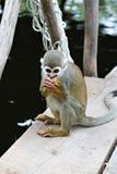 Πίθηκος σκιούρων Titi Στοκ Φωτογραφίες