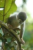 Πίθηκος σκιούρων Titi Στοκ Εικόνες