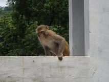 0 πίθηκος στην Ινδία Στοκ Φωτογραφίες