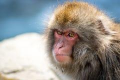 0 πίθηκος στην καυτή άνοιξη Στοκ Φωτογραφίες