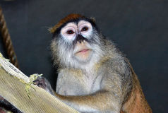 Πίθηκος στην πέρκα Στοκ Φωτογραφίες