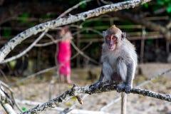 Πίθηκος στην παραλία πιθήκων στο AO Nang Στοκ Εικόνες