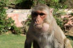 Πίθηκος στην πόλη του Jaipur Στοκ φωτογραφία με δικαίωμα ελεύθερης χρήσης