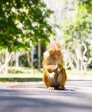 Πίθηκος στην τροπική πανίδα στην Κεϋλάνη, νέο macaque Στοκ Εικόνες