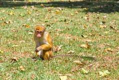 Πίθηκος στην τροπική πανίδα στην Κεϋλάνη, νέο macaque Στοκ φωτογραφία με δικαίωμα ελεύθερης χρήσης