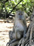 Πίθηκος στη βαθιά σκέψη Στοκ Εικόνες
