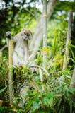 Πίθηκος στη ζούγκλα στοκ εικόνα με δικαίωμα ελεύθερης χρήσης