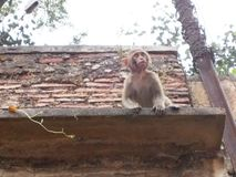 Πίθηκος στη Ιερή Πόλη του Varanasi στην Ινδία Στοκ Φωτογραφίες