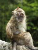 Πίθηκος στη Μαλαισία Στοκ εικόνες με δικαίωμα ελεύθερης χρήσης