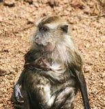 Πίθηκος στη Μαλαισία Στοκ εικόνα με δικαίωμα ελεύθερης χρήσης